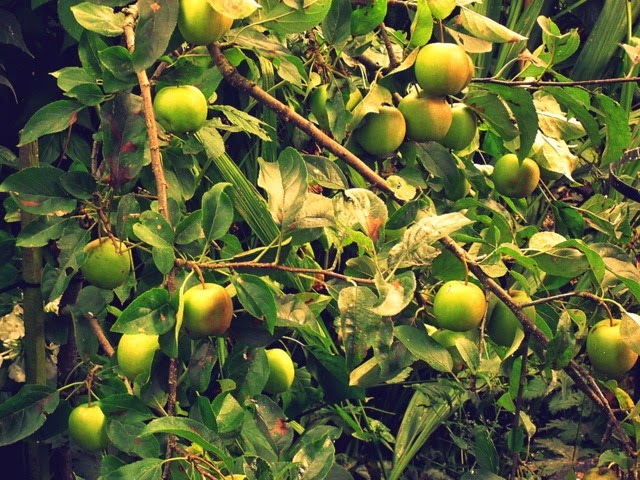 eating apples - variety unknown