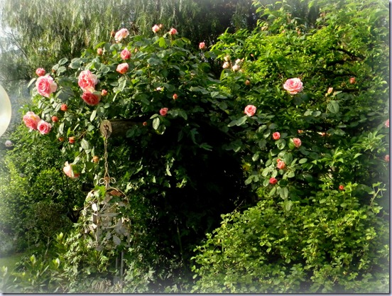 Le pergole double face by tyziana furighedda gardening for Trapiantare rose