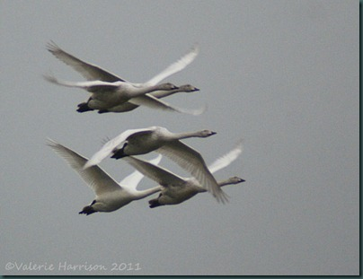31-flying-whoopers