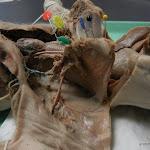 fetal_pig_trachea (2).JPG