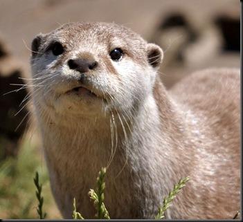 ASC Otter July 19 (JB) DSC_0939