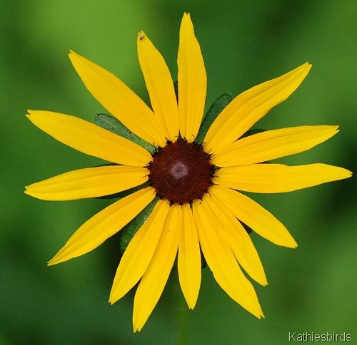 4. sunflower-kab