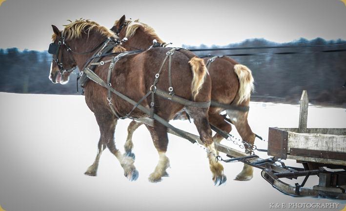 BELGIAN HORSES 2013 (32)