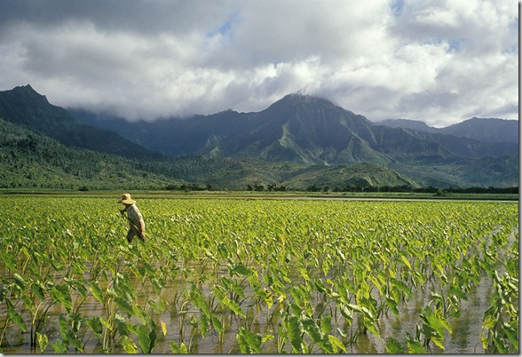 A 4th generation Taro farmer harvests taro root in the Hanalei National Wildlife Refuge. Kauai, Hawaii © Bob Sacha / LUZphoto
