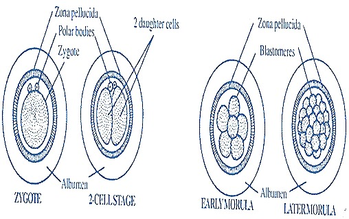 rabbit-zygote-embryo