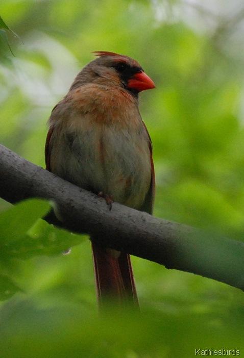 DSC_0174 female cardinal-kab