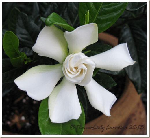 02-03-gardenia