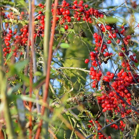 Bryony berries