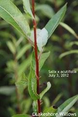 Salix x 'Acutifolia' July 3, 2012
