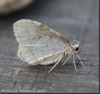 november-moth-side