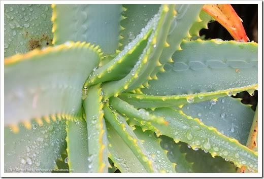 140206_UCBG_Aloe-arborescens_004