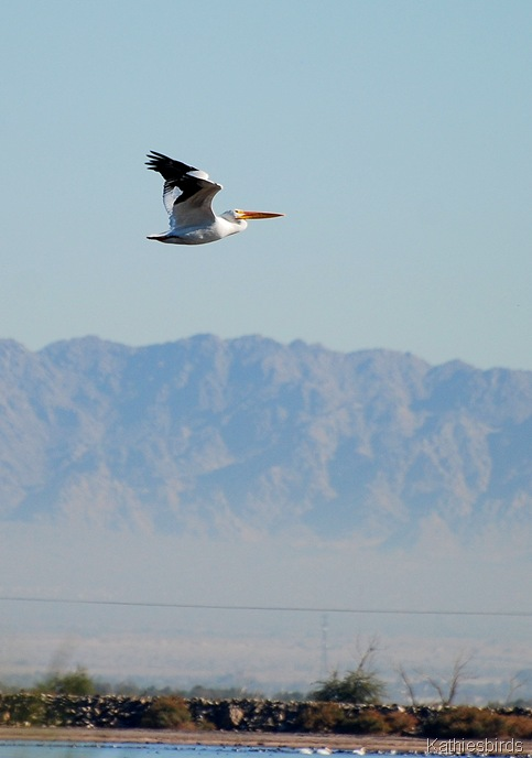 1. white pelican-kab