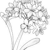 hydrangea-1-coloring-page.jpg