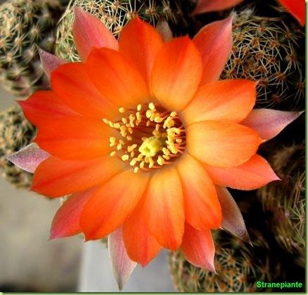 Rebutia pygmaea  (forse v. iscayachensis) fiore