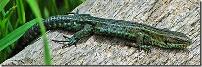 common lizard wood below churchyard July 2014 (2)