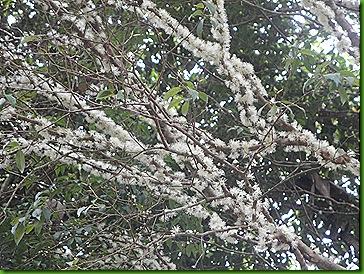 Jaboticabeira em flor 12 out 2011 004