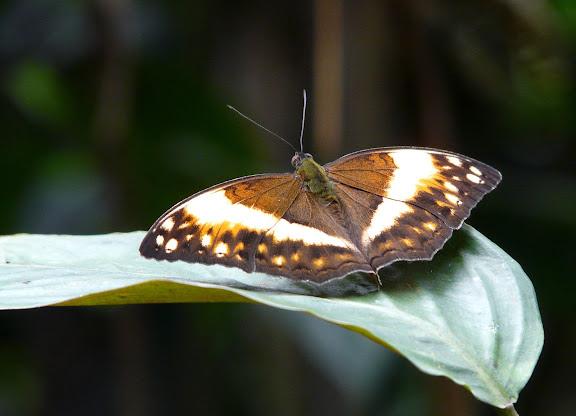 Limenitidinae : Harma theobene DOUBLEDAY, 1848, mâle. Atewa Hills (Ghana), 13 décembre 2009. Photo : J. F. Christensen
