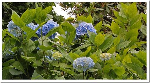 110712_blue_hydrangea_brookings