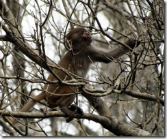 Rhesus monkey at Silver River