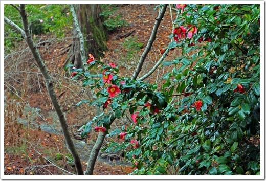 121228_UCBotGarden_Camellia-japonica_09