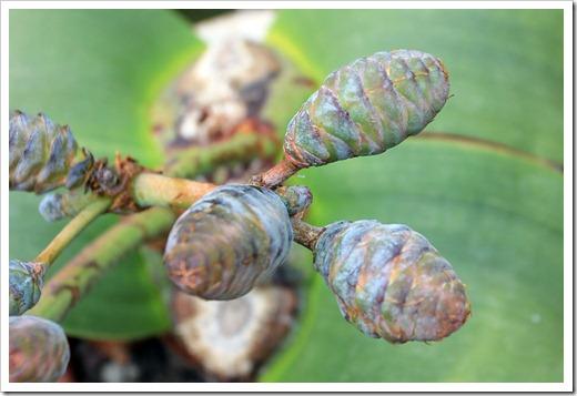 130202_UCDavis_Welwitschia-mirabilis_05