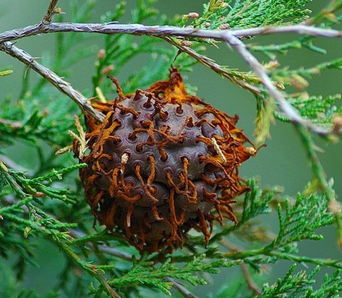 The Cedar-apple Rust fungus
