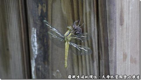這段水管路登山步道真的是生意盎然,剛好見到一隻蜻蜓正在脫皮蛻殼。