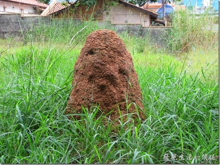 我發現巴西有很多這類的高出地面的蟻丘,這個蟻丘就是在公園旁拍的。