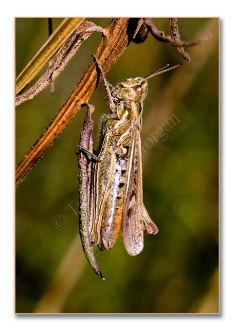 Grasshopper 10 st-w