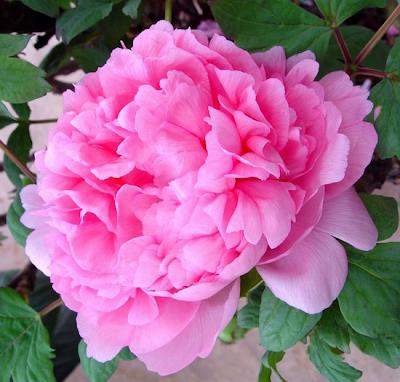 Peônia rosa