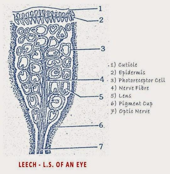 Hirudinaria-eye