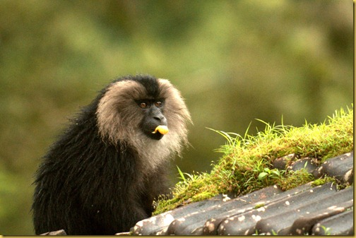 liontailedmacaque