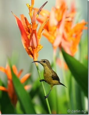 sunbird on heliconia sp.