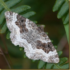 Common Carpet moth, Epirrhoe alternata