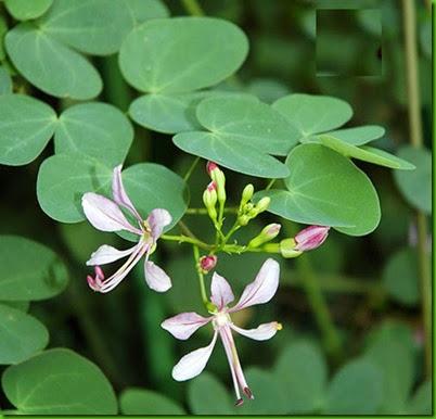 Bauhinia_yunnanensis