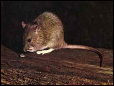 ratas de cloaca