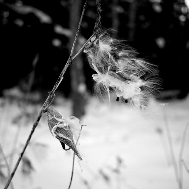 Cott_flower_2
