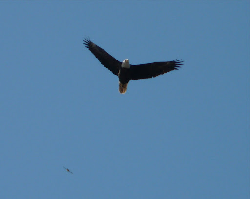 One of the stars of the day - adult Bald Eagle flying right over us!!!