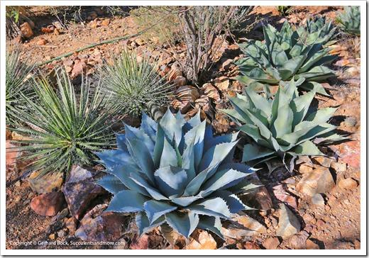 131202_StarrNurseryTucson_Agave-ovatifolia_012