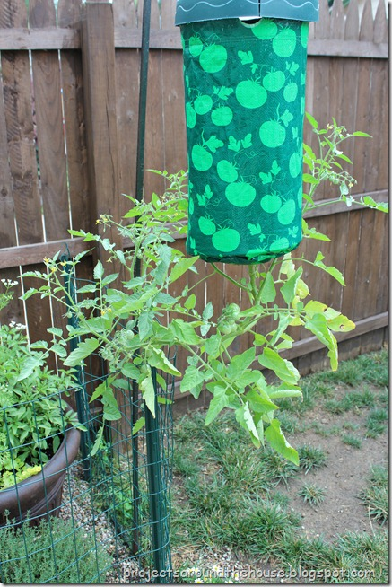 topsy turvey sungold tomato