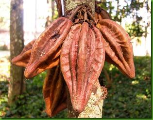 Theobroma mariae - Caco Jacare by Carlos Velazco