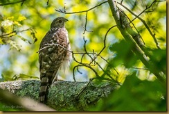 Cooper's Hawk - Accipter cooperii