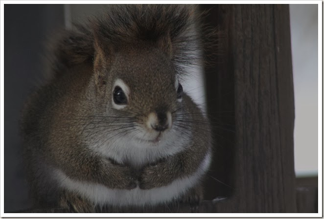 squirrel 2.14 052