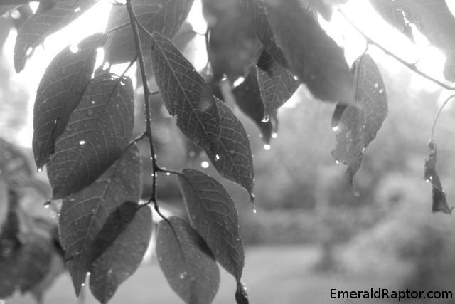 Regner på bladene