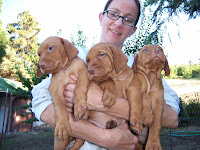 We bred and sold four generations of Vizsla bird hunting dogs while I was growing up (Cover, Cedar, Karta, and Bell) and the money from selling the puppies was our vacation fund. Between the first three mothers I think we had about twelve litters over the years. In this photograph my Mom is holding three pups from Karta's second litter, they are five weeks old.