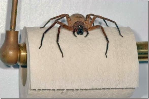 australia-scary-spiders-005