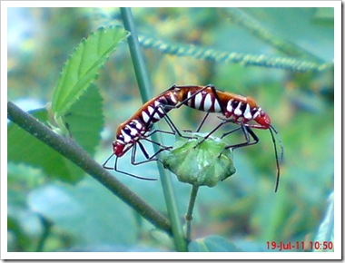 Dysdercus cingulatus (Bapak Pucung - Red Cotton Bug) Mating