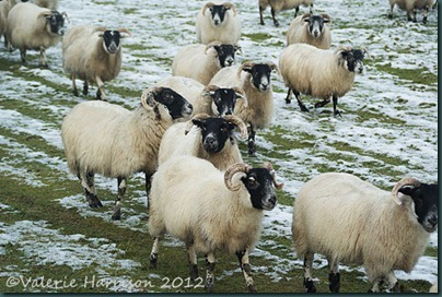 33-sheep