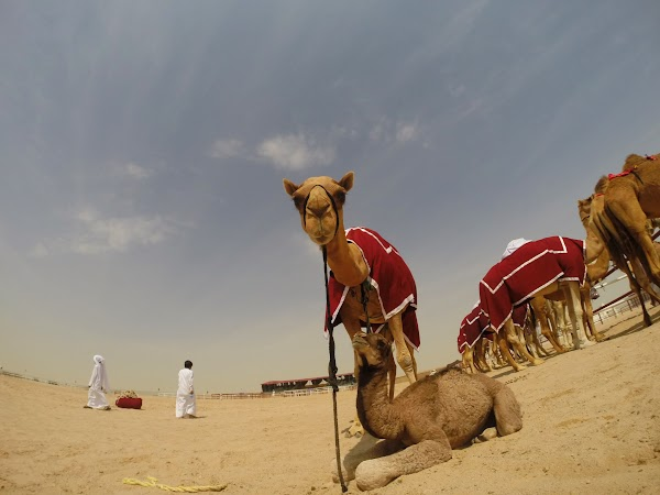 Qatar-Doha-Camellos-8.JPG