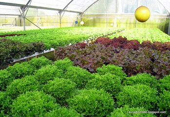 Mixed hydro lettuces